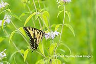 03023-03304 Eastern Tiger Swallowtail (Papilio glaucus) on on Wild Bergamot (Monarda fistulosa) Marion Co. IL