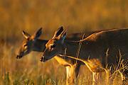 Whitetail Deer. National Bison Range, Montana.