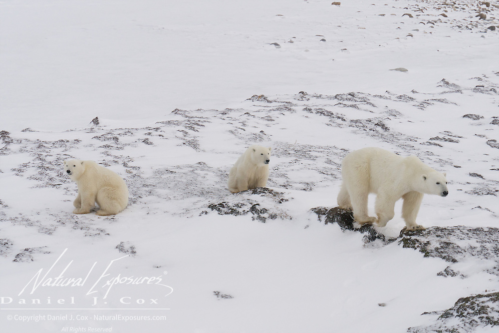 Polar bears longing on the shores of Hudson Bay, waiting of the ice to freeze. Manitoba.