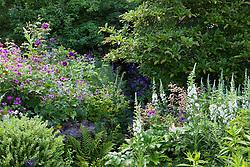 White willowherb, foxgloves, astilbe and Geranium psilostemon at Glebe Cottage. Epilobium angustifolium album