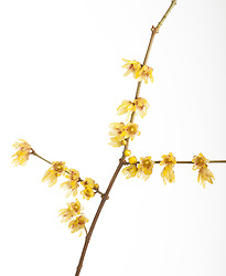 Chimonanthus praecox cut out. Wintersweet