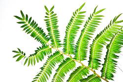 tree fern, Sadleria sp., amau in Hawaiian, tropical rainforest jungle, Hilo, Big Island, Hawaii, USA