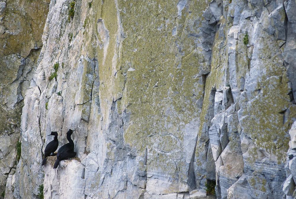 Pelagic cormorant (Phalacrocorax pelagicus), sea cliff, Senyavina Strait, Chukotsk Peninsula Region, Northeast Russia