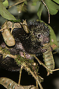 Andean porcupine (Coendou quichua)<br /> Western slopes of Andes<br /> Andes<br /> ECUADOR, South America<br /> Habitat & Range: Andes of Ecuador & Colombia