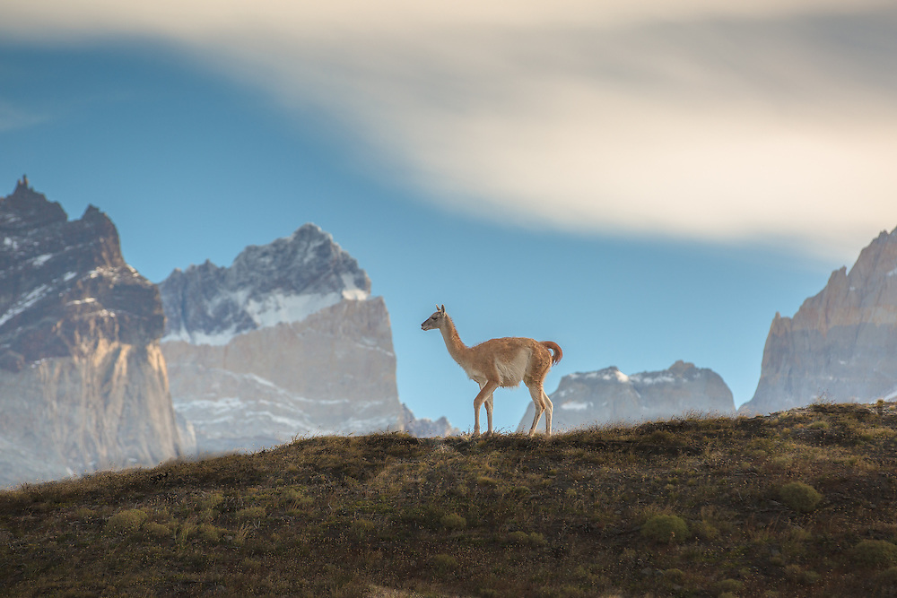 A guanaco stands guard atop a high ridge in Patagonia's Torres del Paine National Park.