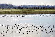 Nederland, Eldik, 14-2-2019  Wilde ganzen . Elk jaar overwinteren tienduizenden ganzen in de uiterwaarden langs de rivier de Waal. Zij voeden zich met gras, vaak tot ergernis van boeren, veehouders die hun vee in de lente en zomer buiten willen laten grazen. Ook zijn de vogels verspreiders van het vogelgriepvirus. Foto: Flip Franssen