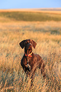 John Zeman's German shorthair, Louie locks up on point during a Montana prairie grouse hunt.