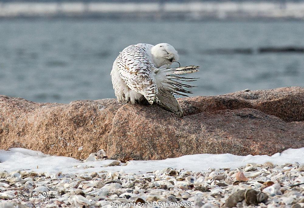 Snowy Owl Dirty Feathers