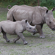 A Southern White Rhinoceros calf and it's mother head for feeding time at Orana Wildlife Park, Christchurch. New Zealand..The pair are part of the Park's White Rhino herd which is part of an international White Rhino breeding program.  Orana Wildlife Park is set on 80 hectares and is New Zealand's only open range zoo. .Over 400 animals from 70 different species are displayed. Mcleans Island Road, Christchurch, New Zealand. 9th June 2011. Photo Tim Clayton