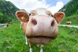 THEMENBILD - Deutsche Wanderin stirbt nach Kuh-Attacke, Landwirt muss mehr als 180.000 Euro bezahlen. Mit massiven finanziellen Folgen hat ein Bauer zu kämpfen, dessen Kuhherde eine deutsche Hundehalterin zu Tode getrampelt hat. Ein Gericht in Österreich sorgte mit seinem Urteil für Aufsehen. Die 45 Jahre alte Hundehalterin aus Rheinland-Pfalz war im Sommer 2014 im Tiroler Stubaital von der Kuhherde, die offenbar die Kälber vor dem Hund schützen wollte, zu Tode getrampelt worden. Die Frau hatte laut Gericht die Hundeleine mit einem Karabiner um die Hüfte fixiert. Bild Aufgenommen am 19.06.2011 // German wanderer dies after cow attack, farmer must pay more than 180,000 euros. With massive financial consequences has a farmer to fight, whose cow herd has trampled a German dog owner to death. A court in Austria caused a stir with his judgment. The 45-year-old dog owner from Rheinland-Pfalz was trampled to death in summer 2014 in the Tyrolean Stubai Valley by the herd of cattle, who apparently wanted to protect the calves from the dog. The woman had loud court the dog leash with a carabiner around the waist fixed. Picture taken on 19.06.2011. EXPA Pictures © 2019, PhotoCredit: EXPA/ Johann Groder