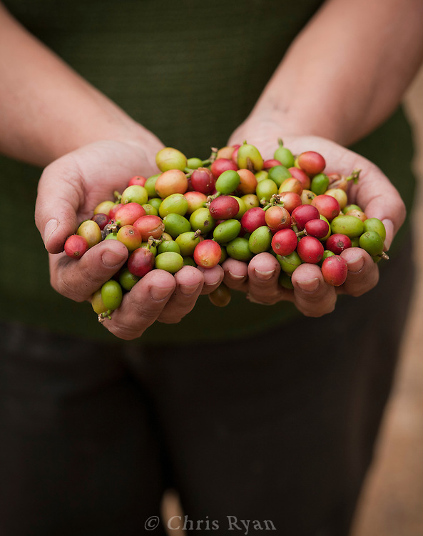 Handful of coffee berries, Vinales Valley, Cuba