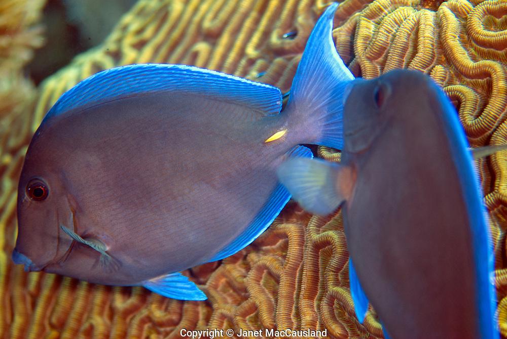 Two Blue Tangs (Acanthus coeruleus) hurry past me on the reef near Key Largo, Florida.