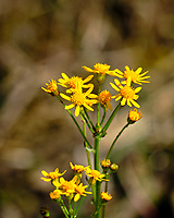 Yellow wildflowers.  Image taken with a Fuji X-H1 camera and 200 mm f/2 lens + 1.4x teleconverter (ISO 200, 280 mm, f/5.6, 1/1250 sec)