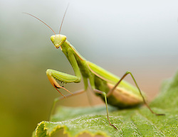 September 3, 2017 - Roseburg, Oregon, U.S. - A mantis perches on the leaf of a hazelnut tree in an orchard near Roseburg in rural western Oregon. Mantises were considered to have supernatural powers by early civilizations, including Ancient Greece, Ancient Egypt, and Assyria. Mantises are among the insects most commonly kept as pets. (Credit Image: © Robin Loznak via ZUMA Wire)