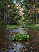Extensive watercress flourishes in Aravaipa Creek, a perennial spring-fed stream in south-central Arizona.