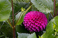 A bright pink dahlia in the herbaceous border at Newby Hall, Ripon, North Yorkshire, UK