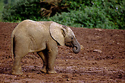 Juvenile African Bush Elephant (Loxodonta africana) as part of a herd