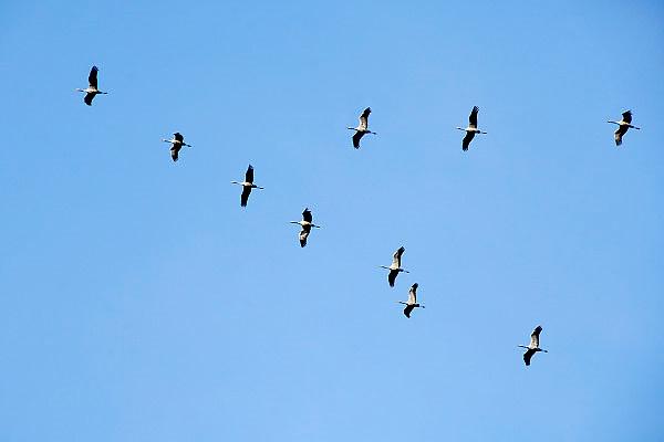 Nederland, Nijmegen, 28-11-2006Een groep grote kraanvogels vliegt in V-vorm over.Foto: Flip Franssen/Hollandse Hoogte