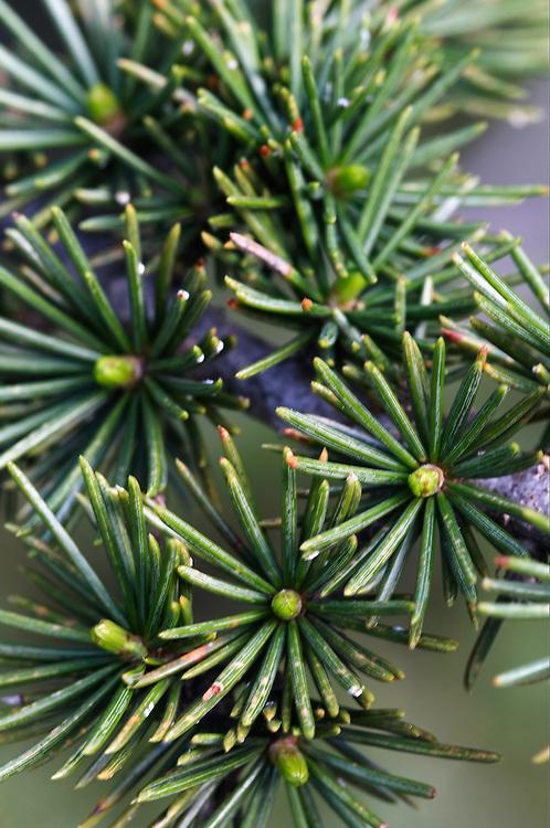 Cyprus Cedar (Cedar libani) in close-up, Cedar valley, Troodos mountains, Cyprus