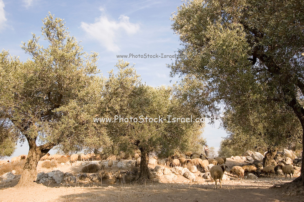 A herd of sheep and a shepherd in an olive grove in the grounds of the beit Jamal Monastery. The Salesian monastery of Beit Jamal was originally established as an agricultural school in 1881 and later operated as a medical facility. While there is a small group of nuns at Beit Jamal they do not belong to the Salesian Sisters, but rather to the Sisters of Bethlehem, of the Assumption of the Virgin and of Saint Bruno. These nuns have taken a vow of silence.