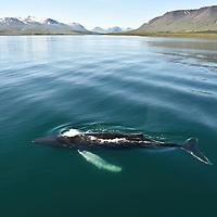 Humpback Whales N Iceland