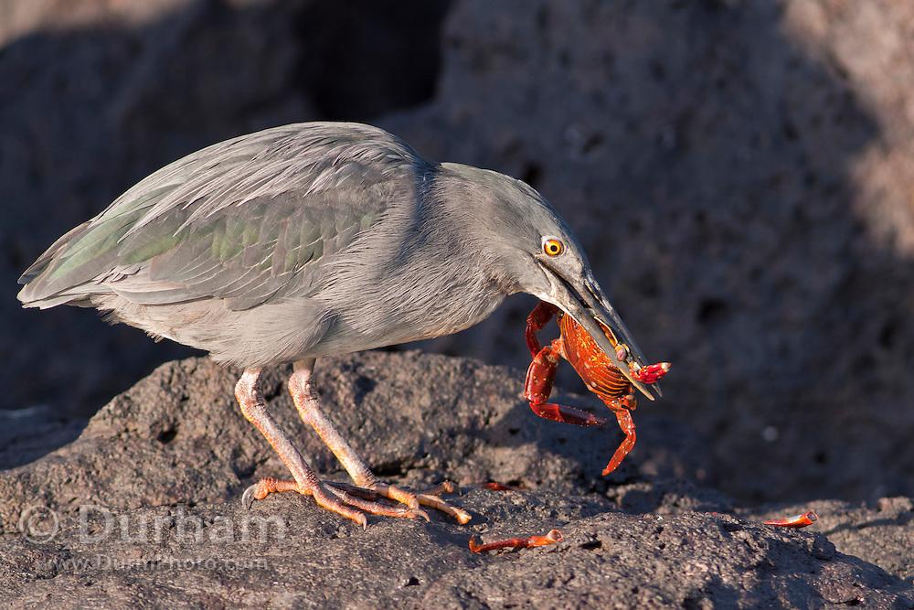 A striated heron (Butorides striatus) eating a red rock crab on Santa Fe Island, Galapagos Archipelago - Ecuador.