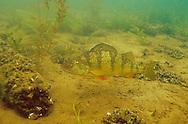 Yellow Perch<br /> <br /> ENGBRETSON UNDERWATER PHOTO