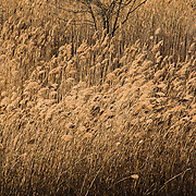 Tall marsh grasses on New Years Day at the Parker River National Wildlife Refuge, Newbury, MA