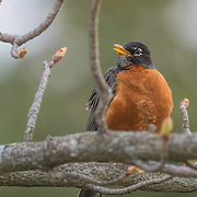 American robin (Turdus migratorius) on a cold early spring morning, feathers prepared for the weather. Photographed at Ottawa National Wildlife Refuge.