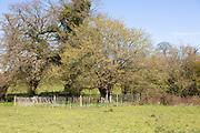 Ancient oak tree fenced off in field, South Elmham, Suffolk, England, UK