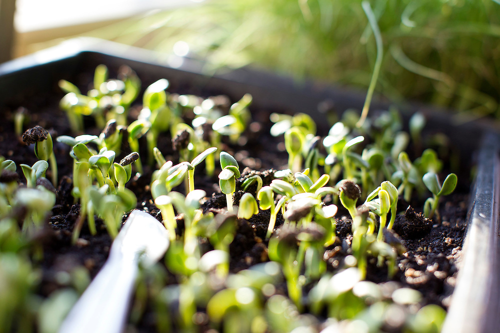 Micro greens sit ready for the picking at Travail and the Rookery in Robbinsdale April 18, 2014.