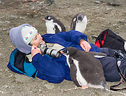 """A curious Gentoo Penguin  (Pygoscelis papua) chick inspects a tourist on Aicho Island, Antarctica. """"Don't approach penguins closer than 15 feet,"""" says an Antarctic tourism rule in 2005. But if you lie down on the ground more than 15 feet away, a curious Gentoo Penguin chick may approach you. An adult Gentoo Penguin has a bright orange-red bill and a wide white stripe extending across the top of its head. Chicks have grey backs with white fronts. Of all penguins, Gentoos have the most prominent tail, which sweeps from side to side as they waddle on land, hence the scientific name Pygoscelis, """"rump-tailed."""" As the the third largest species of penguin, adult Gentoos reach 51 to 90 cm (20-36 in) high. They are the fastest underwater swimming penguin, reaching speeds of 36 km per hour. For licensing options, please inquire."""