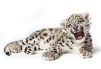 A captive male snow leopard cub, Panthera uncia, approximately seven and a half weeks old, laying on white background, with mouth open.