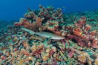 Reef Shark hiding Seychelles Reef