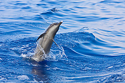 Pantropical Spotted Dolphin, Stenella attenuata, jumping out of boat wake, matured adult with white beak tip, off Kona Coast, Big Island, Hawaii, Pacific Ocean