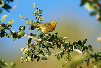 American Yellow Warbler (Dendroica petechia) perched in a tree, Jocotopec, Jalisco, Mexico