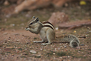 Northern palm squirrel (Funambulus pennantii) also called the five-striped palm squirrel is a species of rodent in the Sciuridae family. photographed in Jodhpur, Rajasthan, India