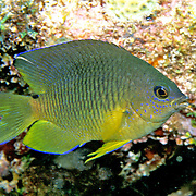 Cocoa Damselfish inhabit reefs, especially fore reefs with living coral, in Tropical West Atlantic; picture taken Dry Tortugas, FL.