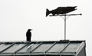 One crow shares the stage with a Chinook salmon weather vane at the Issaquah Fish Hatchery. (Alan Berner / The Seattle Times)