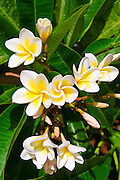 Plumeria flowers, Island of Kauai, Hawaii