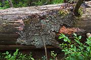 Brown rot fungi (Rhodonia placenta) growing on fallen spruce, near Aloja, Vidzeme, Latvia Ⓒ Davis Ulands | davisulands.com