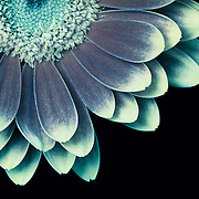 Light-tipped petals of gerbera daisy. Macro photograph rendered in cool tones with light painting as though lit by moonlight.  <br /> <br /> Image selected as Editor's Choice on 9.12.14 by National Association of Photoshop Professionals (NAPP)/Kelby One. Semifinalist, NANPA Showcase 2021.