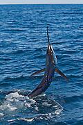 Striped Marlin