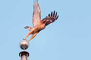 Goshen, New York - A red-tailed hawk takes off from the top of a flagpole at Goshen High School on June 11, 2016.