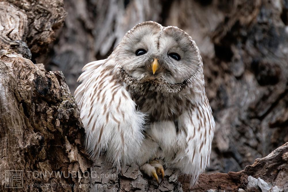 Japanese sub-species of Ural owl (Strix uralensis japonica), known as Ezo Fukurou in Japanese