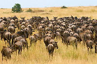 Herds of wildebeest arriving in Masai Mara National Reserve, Kenya from Tanzania as part of the annual Great Migration