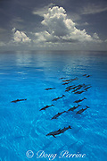 Atlantic spotted dolphins, Stenella frontalis, White Sand Ridge, Little Bahama Bank, Bahamas ( Western Atlantic Ocean )