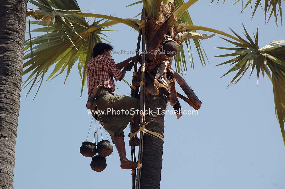 Myanmar Bagan Popa mountain park Man picking coconuts high up on a palm tree