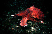 UNDERWATER MARINE LIFE EAST PACIFIC: Northeast OCTOPI: Giant Pacific octopus Octopus dofleini