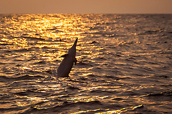 Hawaiian spinner dolphin, Stenella longirostris longirostris, jumping at sunset, Kona Coast, Big Island, Hawaii, USA, Pacific Ocean
